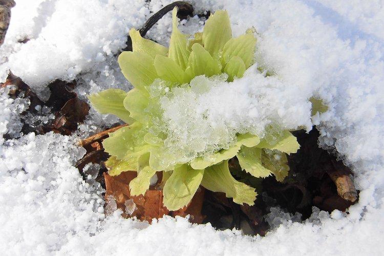 雪とふきのとう